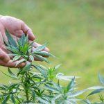 En el país hay más de un millón y medio de usuarios de cannabis